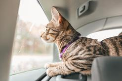 Jak bezpiecznie przewieźć kota w samochodzie? O tym musicie pamiętać