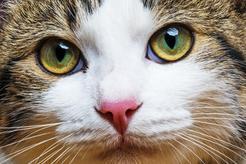 Czy koty widzą kolory? Wyjaśniamy, jak koty odbierają otaczający świat