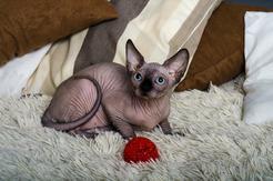 Kot sfinks – historia rasy, pochodzenie, charakter, opinie właścicieli