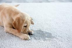 Jak oduczyć psa sikania w domu? Oto 5 sprawdzonych sposobów