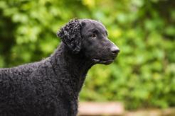 Curly coated retriever - opis, charakter, pielęgnacja, choroby