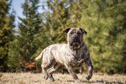 Dog kanaryjski - charakterystyka, usposobienie, zdjęcia, porady