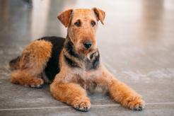 Hodowla airedale terriera - wyjaśniamy, gdzie warto kupić szczeniaka