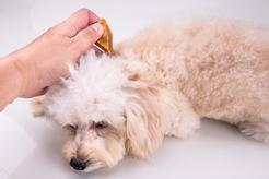 Łupież u psa – rozpoznanie, objawy, leczenie, zapobieganie