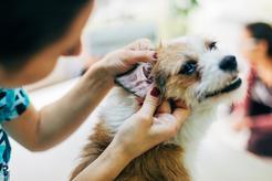 Zapalenie ucha u psa – przyczyny, objawy, leczenie, konsekwencje