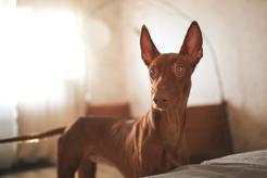 Pies Faraona - opis, pochodzenie, usposobienie, wymagania