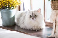 Prawdziwy charakter kota perskiego - co warto wiedzieć?