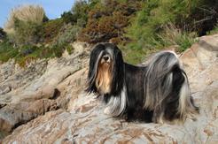 Jakie jest usposobienie lhasa apso? Wyjaśniamy krok po kroku