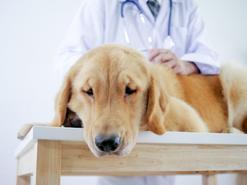 Jakie są objawy skrętu żołądka u psa? Wyjaśniamy krok po kroku