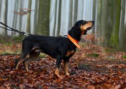 Pies gończy słowacki - opis, charakter, tresura, porady właścicieli