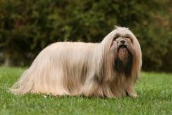 Hodowla lhasa apso - zobacz, gdzie kupić rasowego psa