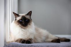 Kot balijski – charakterystyka, usposobienie, wymagania, żywienie