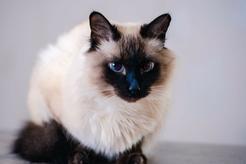 Jaka jest cena kota balijskiego? Sprawdź, ile kosztują rasowe kocięta