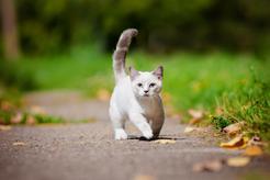 Jaka jest cena kota munchkin? Zobacz, ile kosztuje rasowy kociak