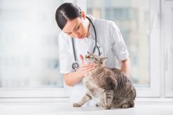 Zapalenie trzustki u kota – objawy, leczenie, rokowania, zapobieganie