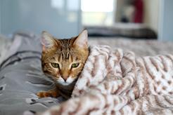 Plazmocytarne zapalenie jamy ustnej u kota – objawy, przyczyny, leczenie