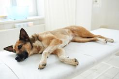 Zapalenie okrężnicy u psa – objawy, leczenie, rokowania, porady