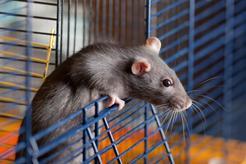 Szczur domowy - opis, usposobienie, wymagania, porady hodowców