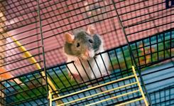 Szczur hodowlany - gatunki, opis, cena, wymagania, opinie hodowców