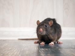 Ile żyje szczur? Zobaczcie, jaka jest długość życia popularnego gryzonia