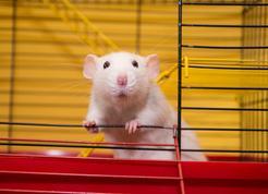 Hodowla szczurów domowych – zobacz, gdzie kupić rasowego gryzonia