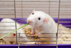 Co jedzą szczury? Oto podstawowe menu popularnego gryzonia