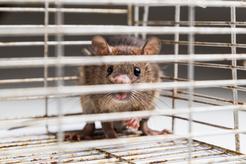 Jakie są najpopularniejsze rasy szczurów? Przedstawiamy wszystkie odmiany