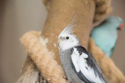 Nimfa białogłowa – opis, zdjęcia, usposobienie, żywienie, rozmnażanie