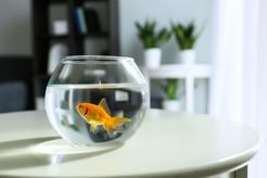 Jakie rybki do kuli wybrać? Wyjaśniamy, które rybki hodować w kuli i dlaczego