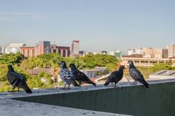 Trutka na gołębie - czy istnieje oraz jak odstraszyć ptaki humanitarnymi sposobami