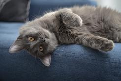 Kot nebelung – pochodzenie, opis, charakter, wymagania