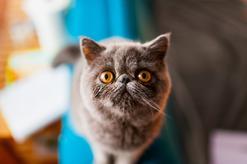 Kot egzotyczny – informacje, zdjęcia, usposobienie, porady właścicieli