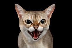 Jaka jest cena kota singapurskiego? Zobacz, ile kosztuje kot z polskiej hodowli