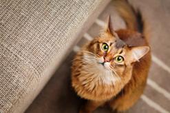 Kot somalijski – informacje, usposobienie, wychowanie, porady