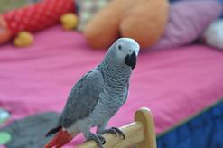 Gadające papugi – zobacz, które gatunki papug potrafią naśladować mowę