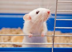 Jaka jest cena szczura domowego? Zobacz, ile kosztuje szczurek hodowlany