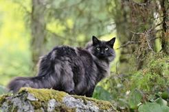 Czarny leśny kot norweski – opis, pielęgnacja, opinie
