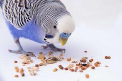 Co jedzą papugi? Przedstawiamy menu papug domowych