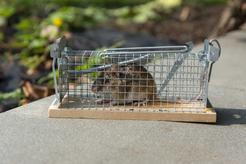 Żywołapka na szczury – rodzaje, działanie, cena, opinie