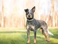 Australijski pies pasterski (Australian cattle dog) - opis, charakter, ceny szczeniąt