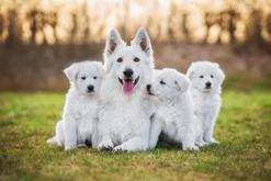 Białe psy - lista ras wraz z opisami, porady, opinie, zdjęcia