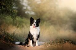 Opinie o border collie – to warto wiedzieć przed zakupem szczeniaka!