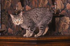 Kot Pixie-Bob – pochodzenie, informacje, cena, wymagania, zdjęcia