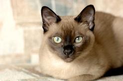 Jaka jest cena kota tonkijskiego? Zobacz, ile kosztuje rasowe kocię