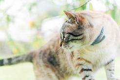 Obroże Foresto dla kota – rodzaje, zastosowanie, ceny, opinie