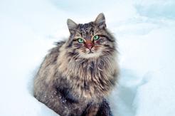 Kot syberyjski – opis, charakter, opinie, wychowanie