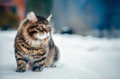 Jaka jest cena kota syberyjskiego? Sprawdzamy w najlepszych hodowlach
