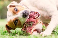 Żywienie BARF dla psa krok po kroku. Poradnik praktyczny