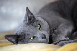 Kot rosyjski niebieski – opis, charakter, opinie właścicieli