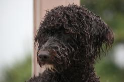 Portugalski pies dowodny - opis, charakterystyka, wychowanie, ceny